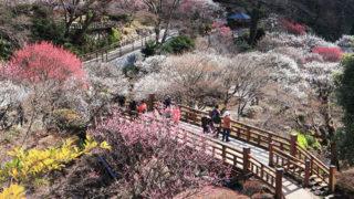 熱海梅園日本一早咲きの梅と遅い紅葉