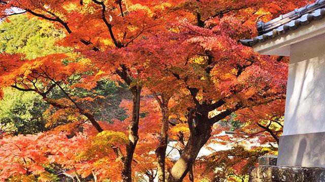 円覚寺 錦秋(鎌倉)
