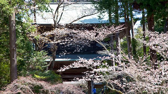 円覚寺 総門前の桜(鎌倉)