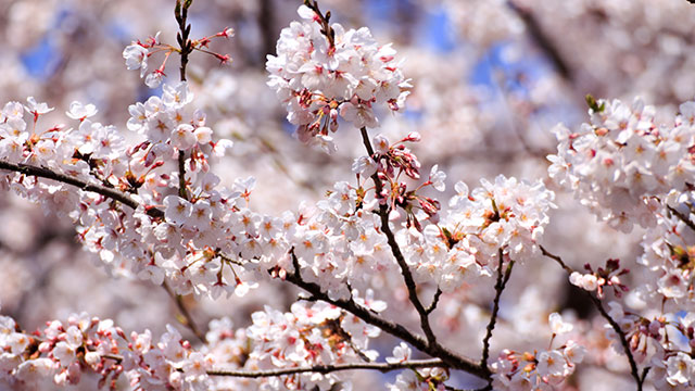 走水水源地の桜(走水海岸)