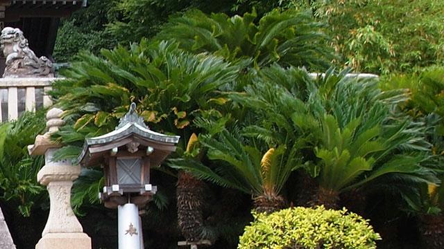 見事なソテツ(東叶神社)