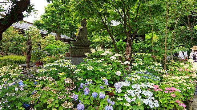 紫陽花の咲く鎌倉長谷寺