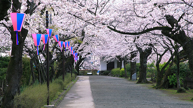 小田原桜まつり(小田原城)