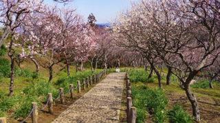 横須賀 田浦梅の里2700本の梅が咲き誇る海を眺める梅林