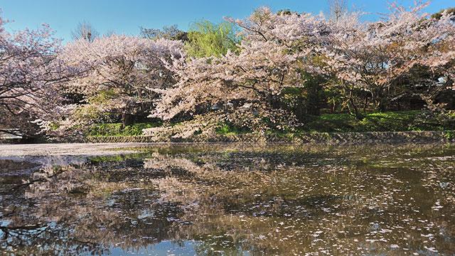 源平池の桜(鶴岡八幡宮)