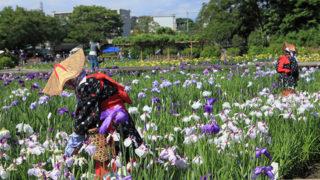 横須賀しょうぶ園14万株の花しょうぶと 四季の花がお出迎え