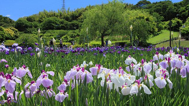 横須賀しょうぶ園(横須賀)