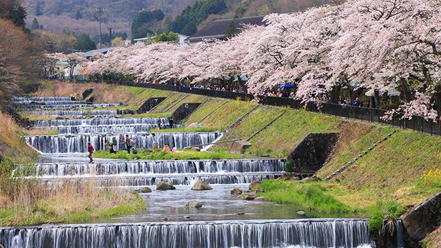 宮城野早川堤の桜(箱根)