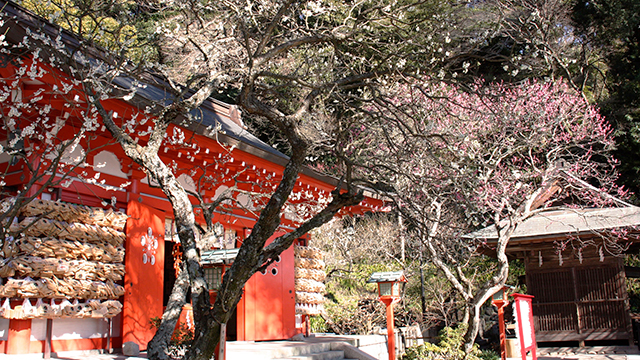 拝殿前の紅梅(荏柄天神社)