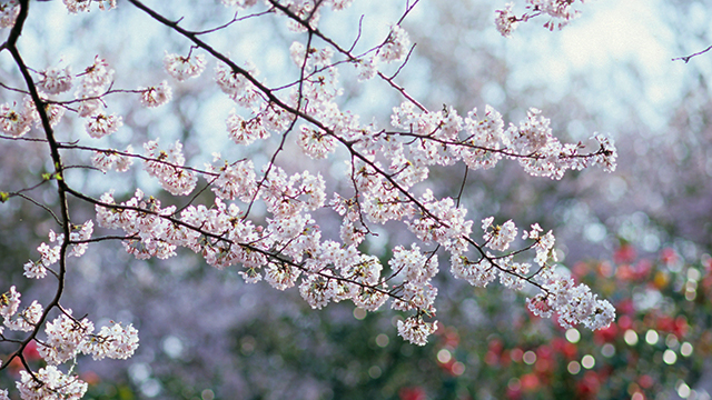 桜(源氏山公園)