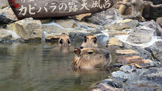 温泉につかるカピバラ(伊豆シャボテン公園)