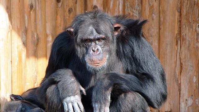 チンパンジー(伊豆シャボテン公園)