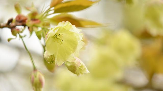 鬱金の桜(金櫻神社)