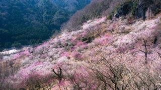 幕山公園(湯河原梅林)4000本の梅が咲き乱れる自然公園の魅力