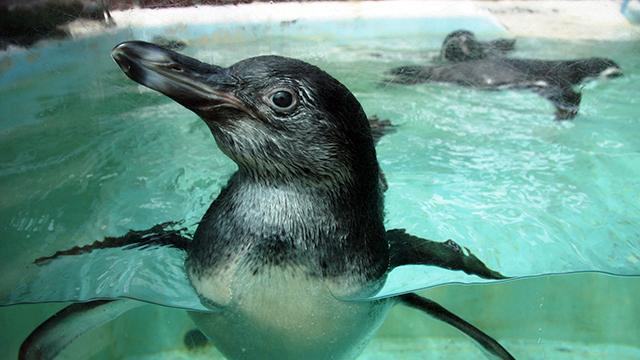 ペンギン(下田海中水族館)