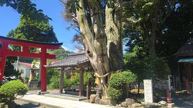手水舎と薬師のビャクシン(白濱神社)