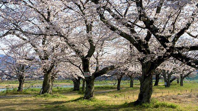 桜(嵐山公園)
