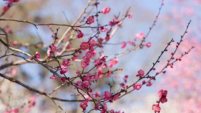 日本一早咲きの梅(熱海梅園)