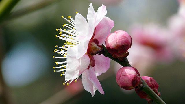 うめ園の梅の花(フラワーセンター大船植物園)
