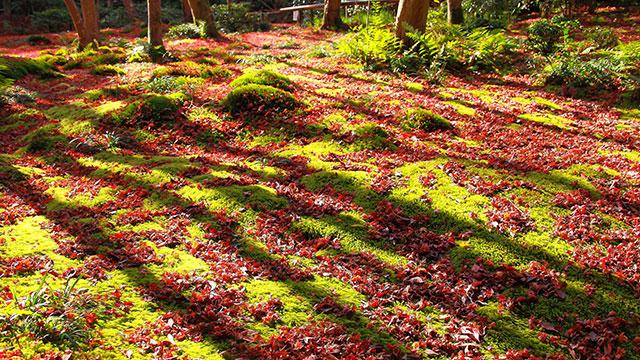 苔庭と落ち葉との見事なコントラスト(祇王寺)