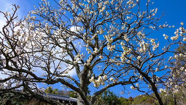 梅の木(浄妙寺)