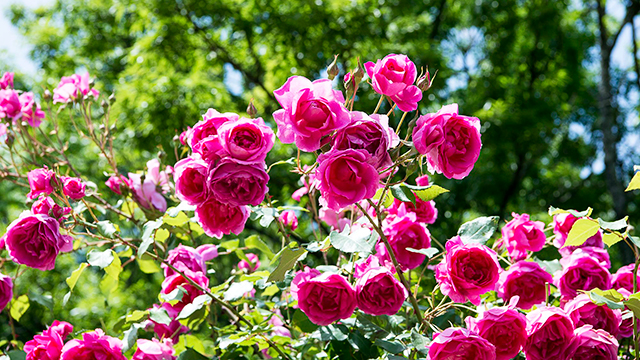 ローズガーデンのバラ(河津バガテル公園)
