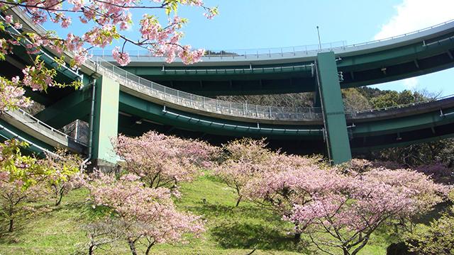 河津桜(河津七滝ループ橋)