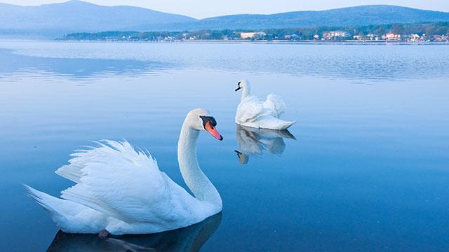 コブハクチョウ(山中湖遊覧船 白鳥の湖号)