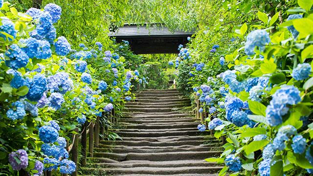 参道の紫陽花(明月院)