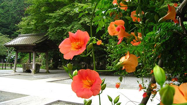境内に咲くノウゼンカズラ(妙本寺)