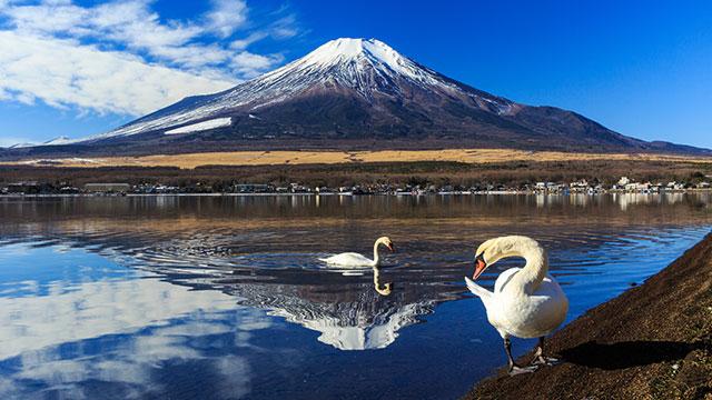 富士山とコブハクチョウ(長池親水公園)