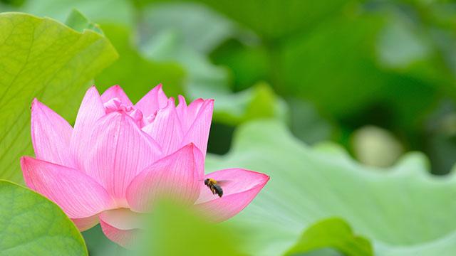 蓮の花(不忍池)