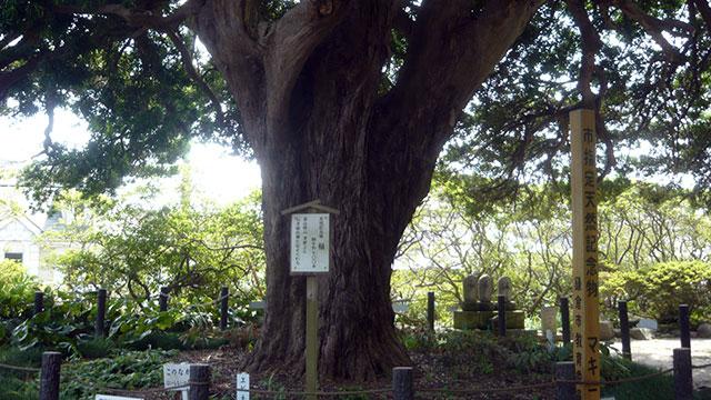 槇の巨木(安養院)