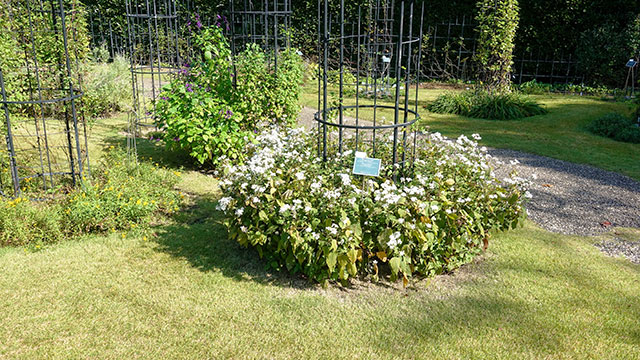 庭園内のクレマティス(クレマチスの丘)