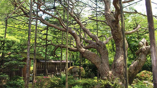 五葉の松(宝泉院)