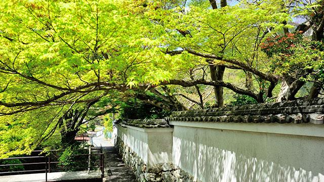 築地塀と青モミジ(実光院)