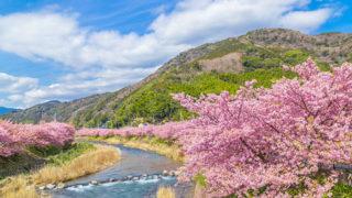河津桜(河津桜まつり)2月に咲き始める桜を愛でるおまつり