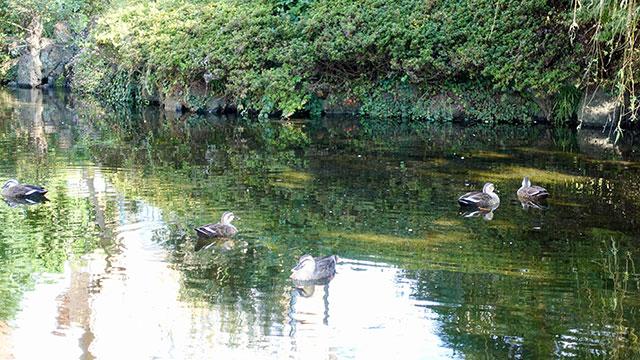 水鳥(菰池公園)