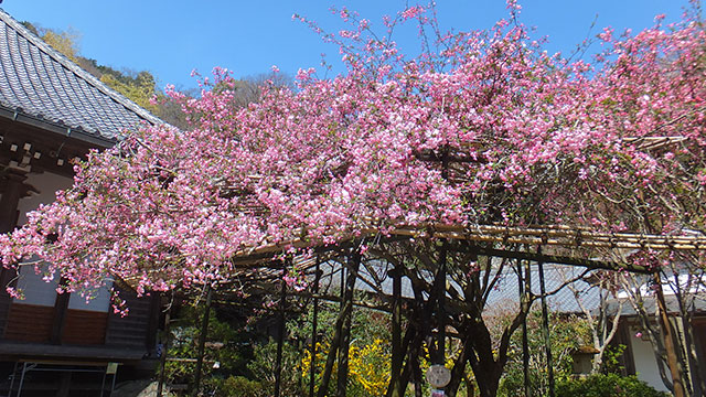 カイドウの花(光則寺)