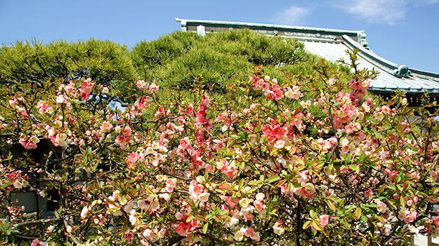 ボケの花(九品寺)