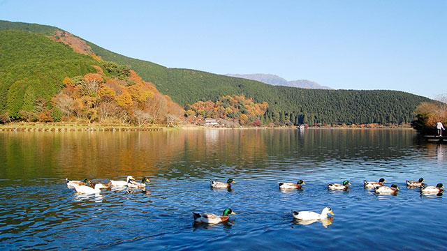 カモ(田貫湖)