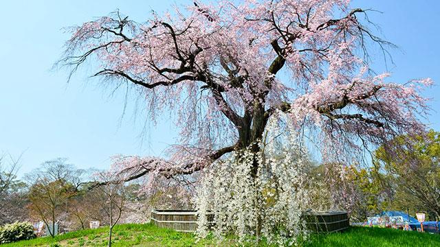 枝垂れ桜(円山公園)
