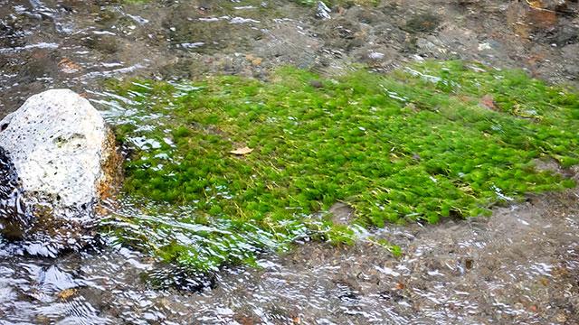 ミシマバイカモ(三島梅花藻の里)
