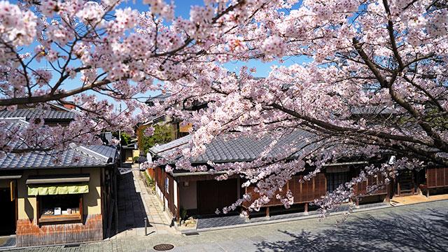 桜(ねねの道)