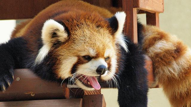 レッサーパンダ(楽寿園)