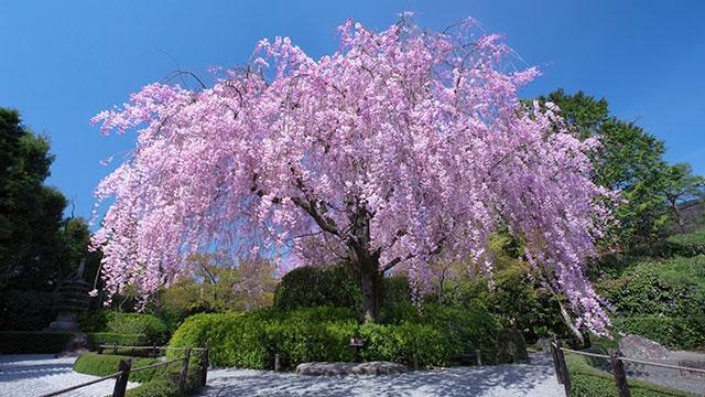 紅しだれ桜(退蔵院)