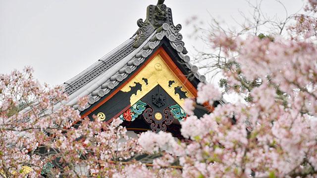 桜(毘沙門堂門跡)