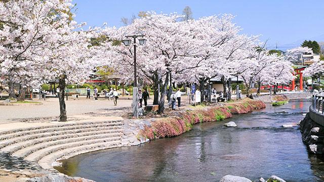 桜(富士山本宮浅間大社)
