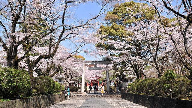 馬場の桜(富士山本宮浅間大社)