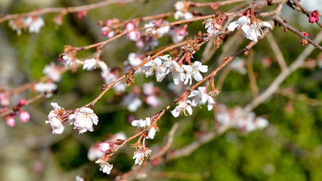御会式桜(妙蓮寺)